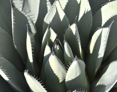 Shadowed Century Plant