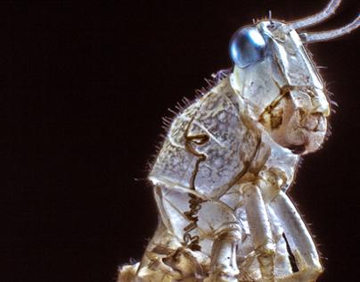 Subadult Shed Grasshopper Shedded Skin