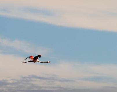 Flamingos at Delta de l'Ebre
