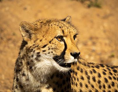 Cheetah, Dubbo, Western Plains Zoo