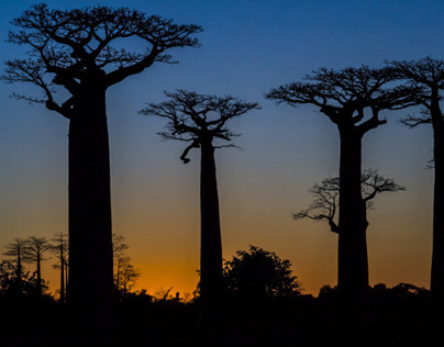 Baobabs of Madagascar, the roots of heaven