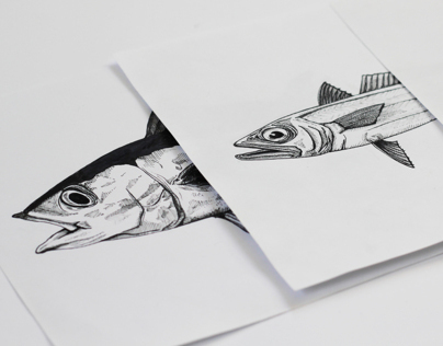 NZ Fish Illustrations