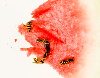 vosy porcuji meloun / wasps portioning watermelone