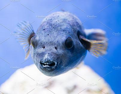 Fugu fish nature underwater sea life