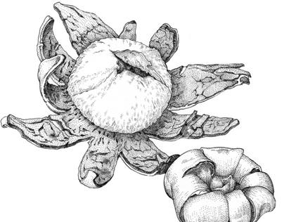 Botany : Earthstar Fungi