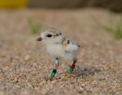 Terns and Plovers: Endangered Birds on the Platte