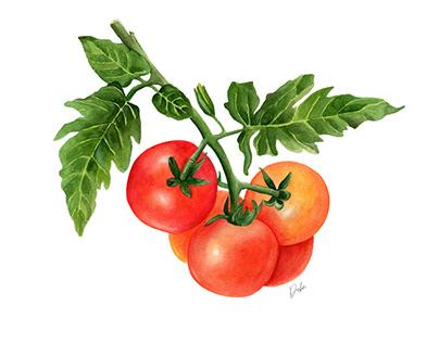 Tomatoes Vines Illustration