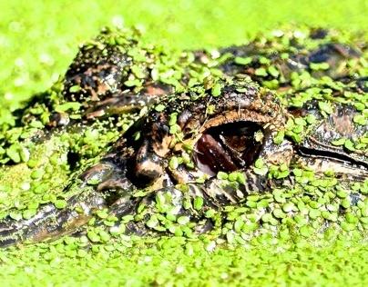 Some Australian Reptiles