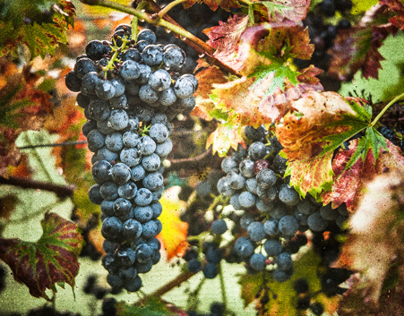 The Art of Grapes at Arrington Vineyards