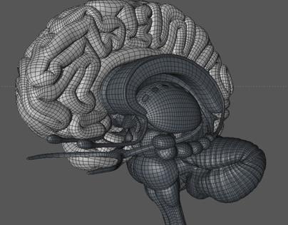 Human Brain, Cinema 4D, Zbrush, 3D, Model