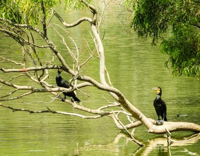 Indian cormorants