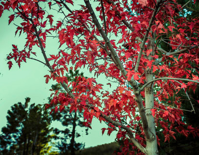 The red tree.