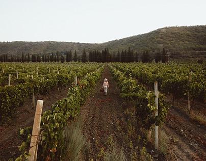 Vineyards of Crimea. Sunrise