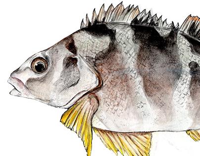 Bosques marino - Ilustraiones naturalistas para MHNRP