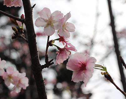Sakura?