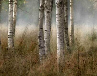 Autumn in the birch forest
