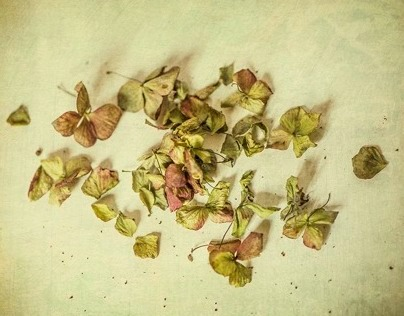 What remains of hydrangeas…