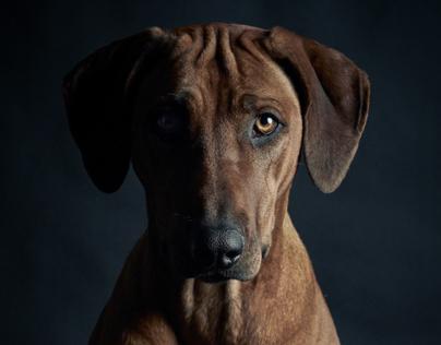 RIDGEBACK DOG / PHASE ONE p40+