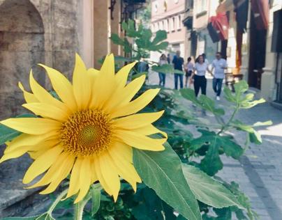 Karaköy'de Ayçiçekleri