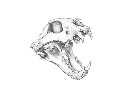 Tiger Skull drawing.