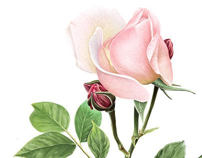 Softness Pink Rose Pencil Drawing