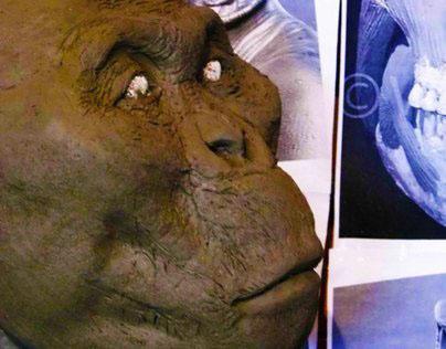 Paranthropus boisei - KNM-ER-406 - Adolescent male