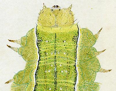 Owlet moth (Xylena formosa)