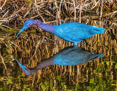 Little Blue Heron reflected