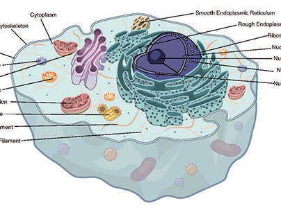Animal and Plant Cell Vector Illustrations