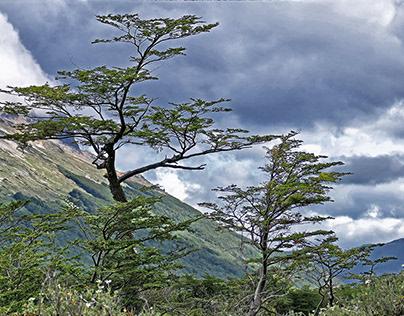 Lenga Beech Forest