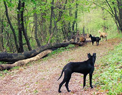Dogs of Kosmaj