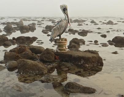 My Brown Pelican painting...