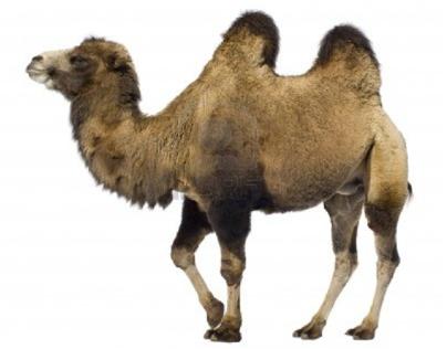 Camel/Cameleon