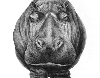 Animal Portrait - Hippopotame