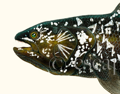 Coelacanth Commission