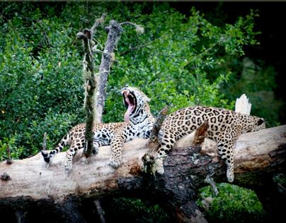 DHPhotographrsa  -  Big Cats