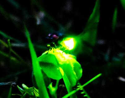 HOTARU(firefly) / Photography