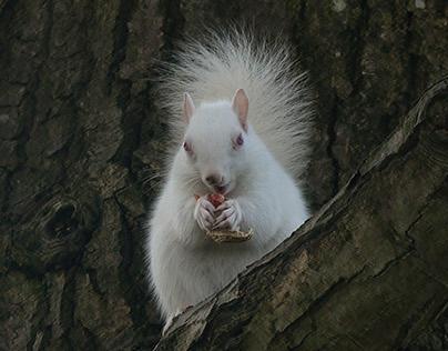 Albino Squirrel. Hastings, England.