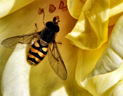 Hover fly's