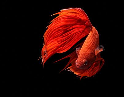Red Siamese Fighting betta fish.