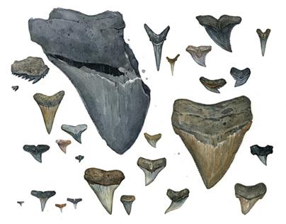 Watercolors - Shark teeth / shells / rocks