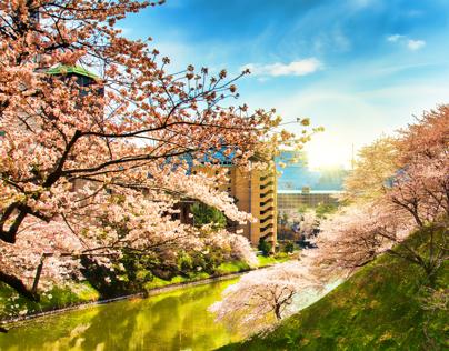 cherry-blossom - Animated