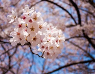 Cherry blossom in Sancheong