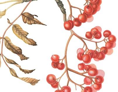 Autumn rowan branch. Botanical watercolor.