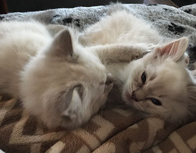 Numerous Tips for Ragdoll Cats Care
