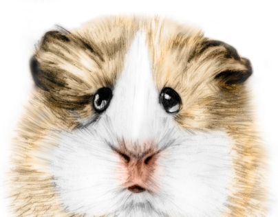 Guinea pig drawing