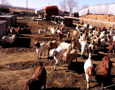 Bore goats at 2000 acre hay farm