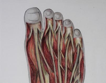 Foot, anatomy