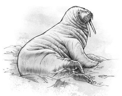 Arctic Polar Wildlife Illustrations 2014