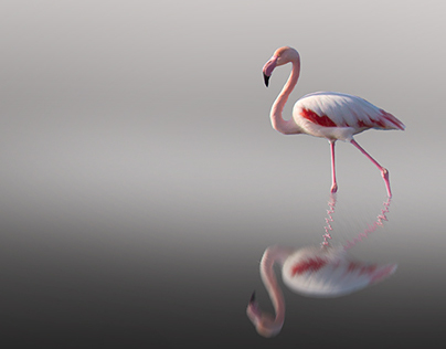 Flamingo dancing